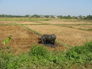 water buffalo sacred fields Vietnam