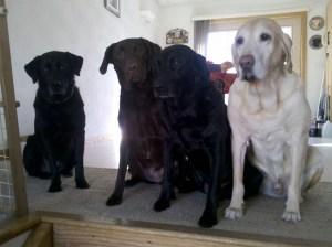 Traveling Marla dogsits Cesar's Way Dog Whisperer style