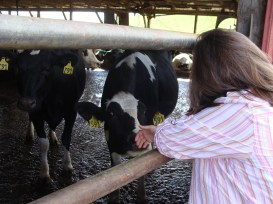 Traveling Marla and Cows at Blue Ridge Dairy and White tail Farm