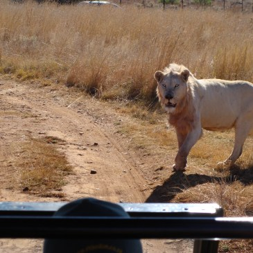 Lion and Rhino Reserve Krugersdorp South Africa