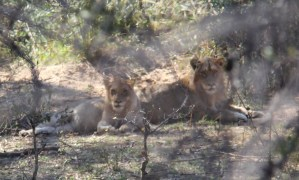 Anderson Cooper Tibetan Mastiff Chinese Zoo best places to see lions South Africa