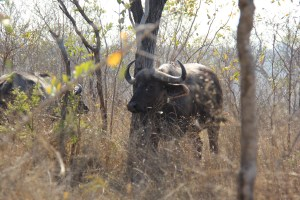 black death boy lives with buffalo whisperer what are the big five expat life Pretoria