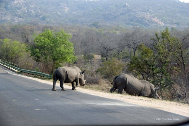 SanWild Rhino Sanctuary Kruger National Park white rhino rhinos in Kruger crossing road