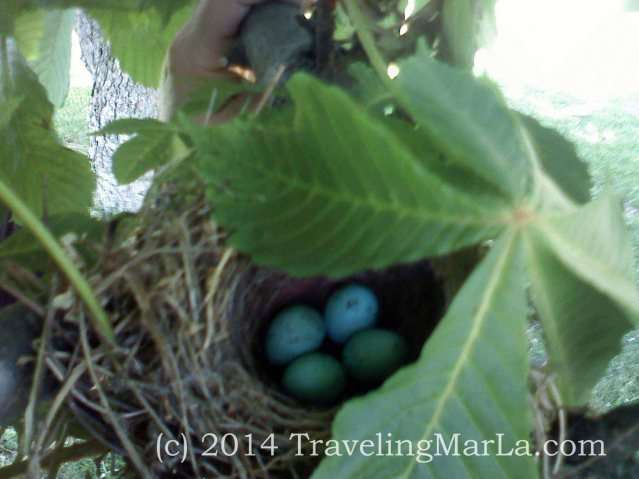 Robin's eggs in a nest outside our house in PA.