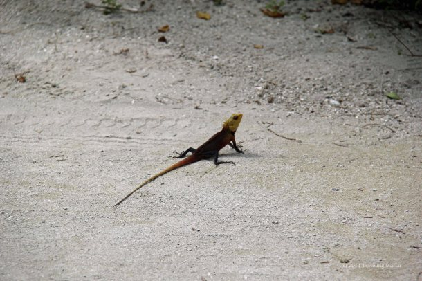 travel Maldives lizard