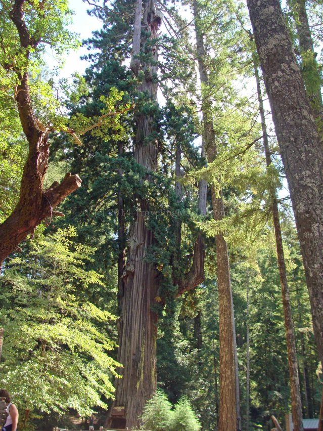 travel America redwood forest drive through trees