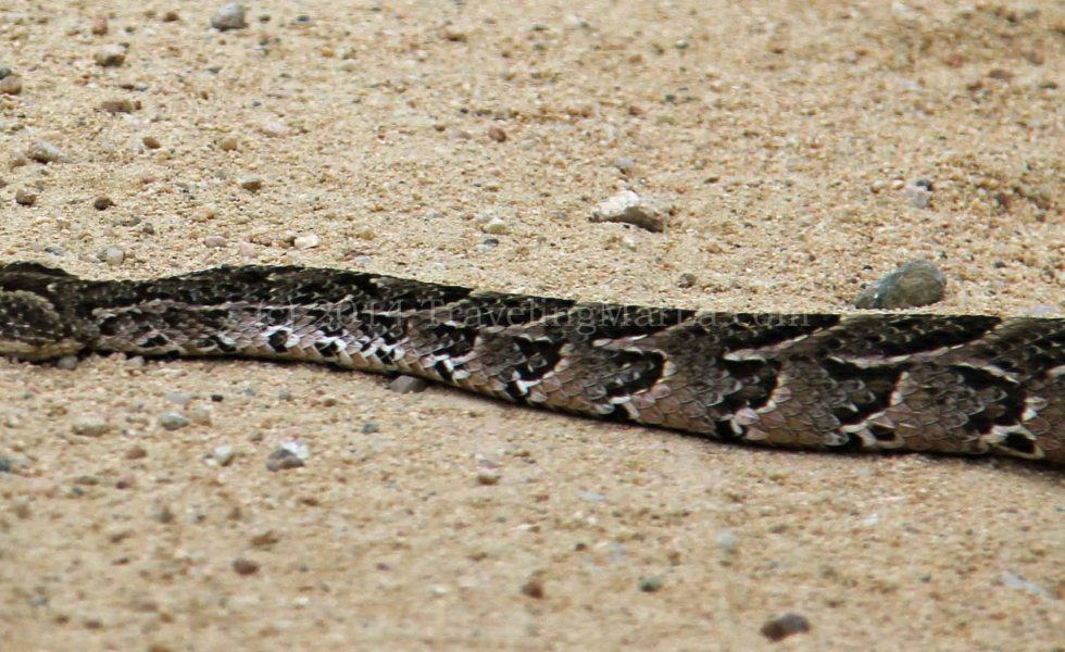travel South Africa puff adder