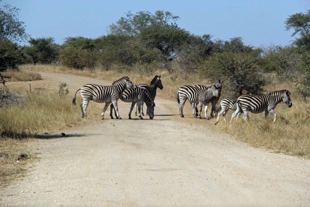 travel Africa zebra