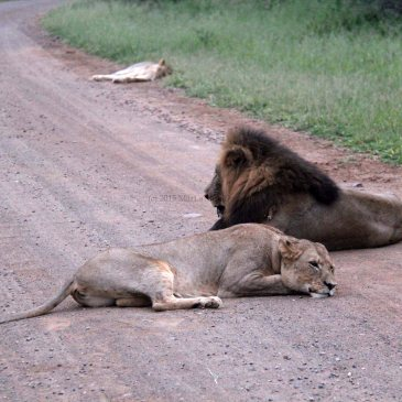 travel South Africa lions