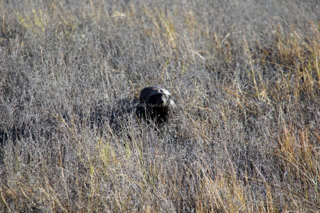 travel Botswana Africa honey badger