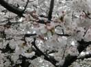 Yanaka Sakura20
