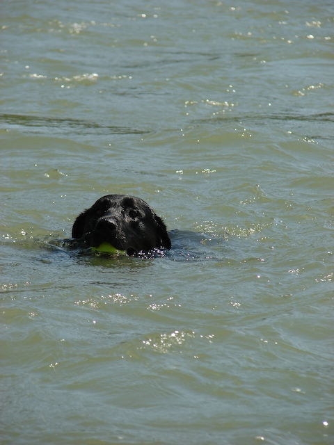 Diesel swims the Yellowstone