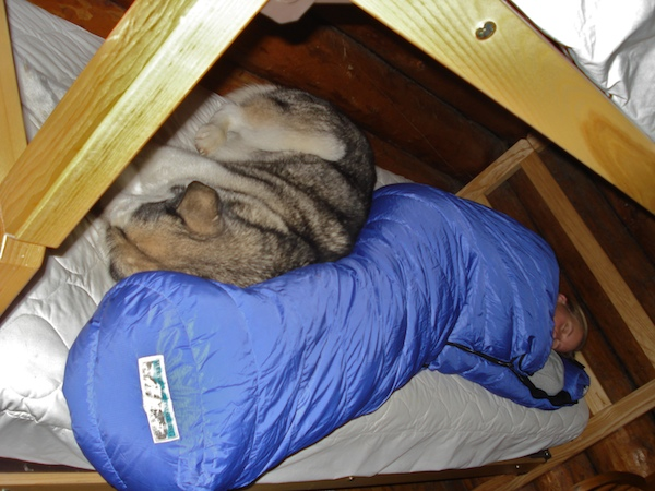 Malamute sleeping in a bunk bed.
