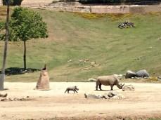 Baby rhino at the Safari Park, mom is Holly