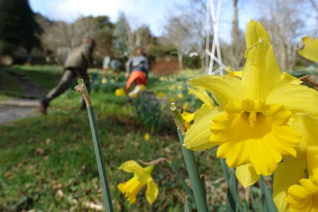 Daffodils at Broomhill Sculpture Gardens