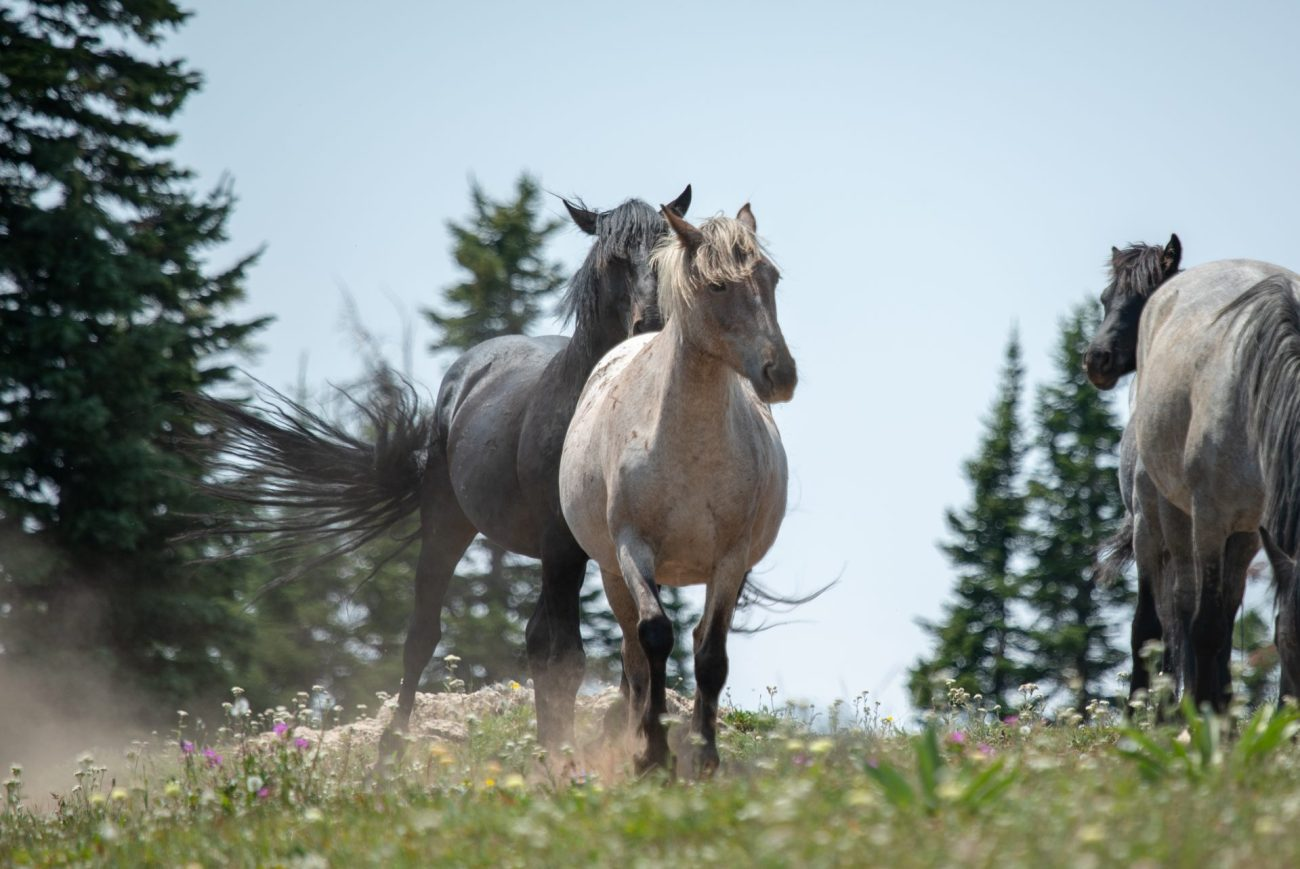 Relative of Cloud the Pryor Mountain horse