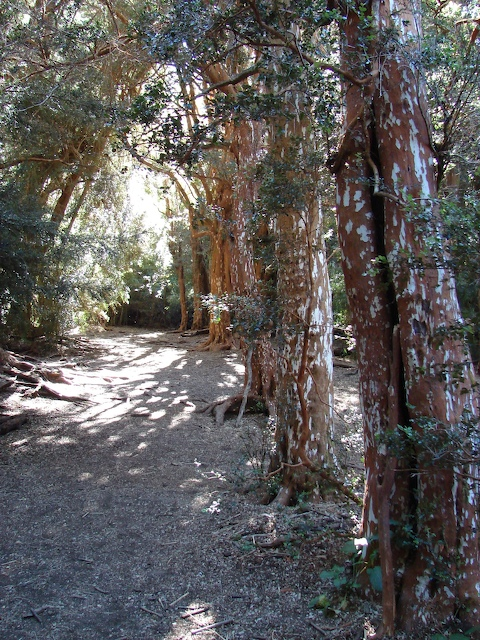 Arrayanas forest