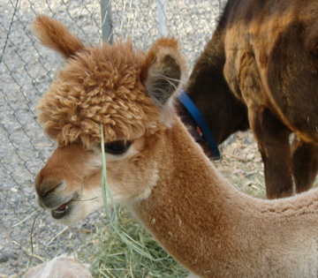 Baby alpaca at the Park County Fair petting zoo 2007