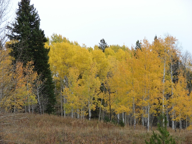 Aspens at the north end of Grand Teton National Park
