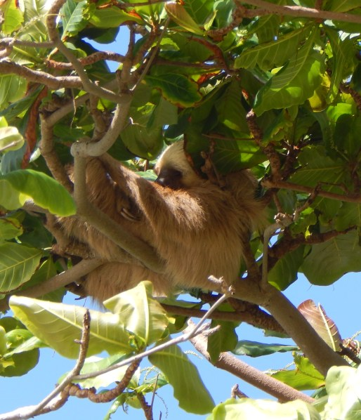 I traveled to Panama to see this unique animal, the sloth