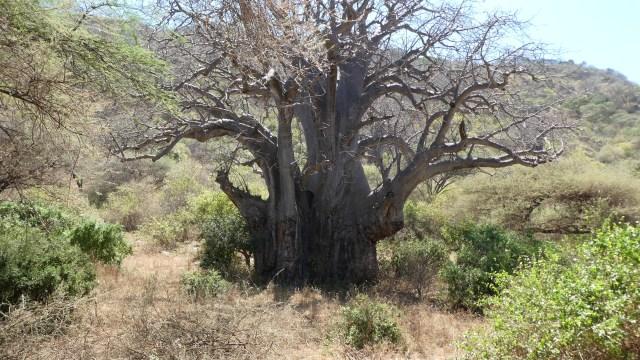 Visit Kenya and Tanzania and see baobab tree