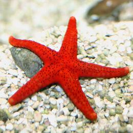 Bintang Laut Merah