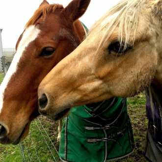 A close up on two very sweet horses nosing one another on a rainy day in New Zealand