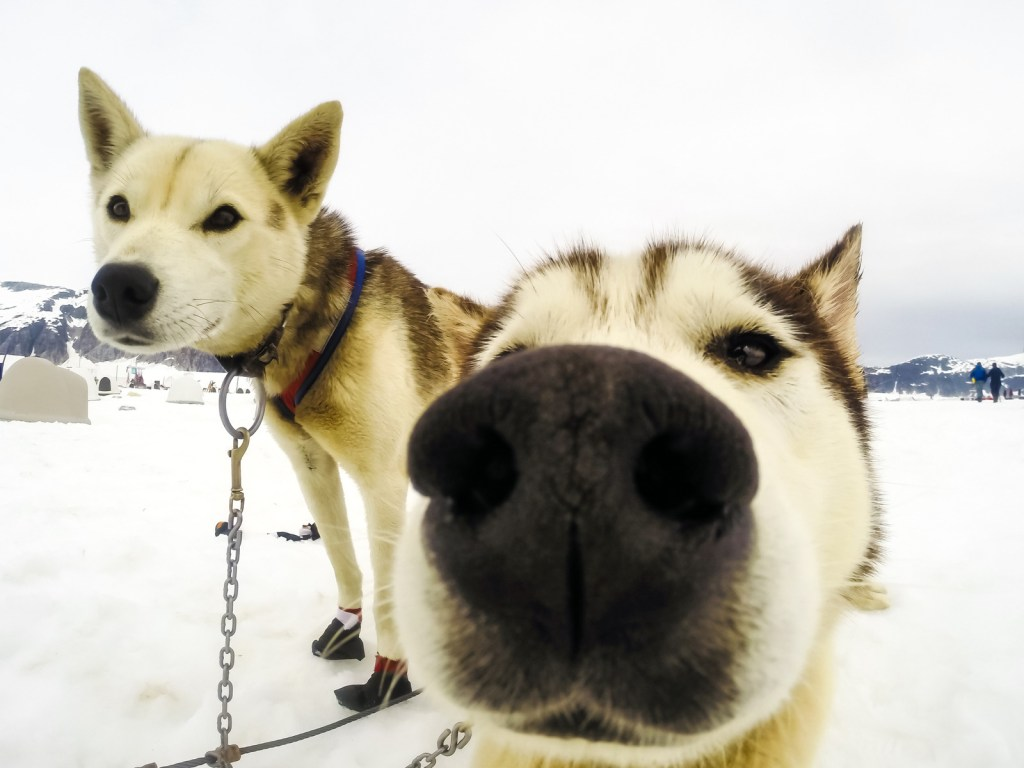 Closeup of husky sled dogs