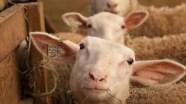 3_sheep-49fa5d0e75
