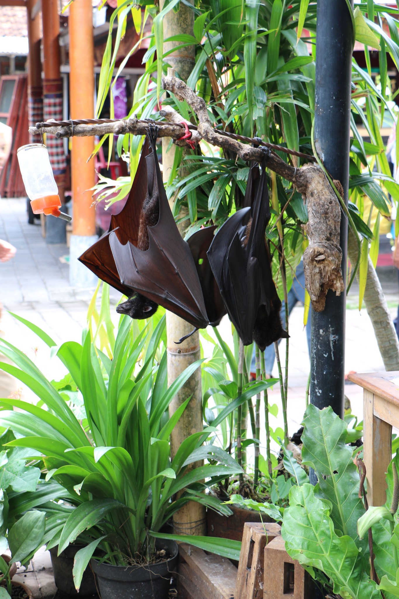 Luwaks and Giant Bats