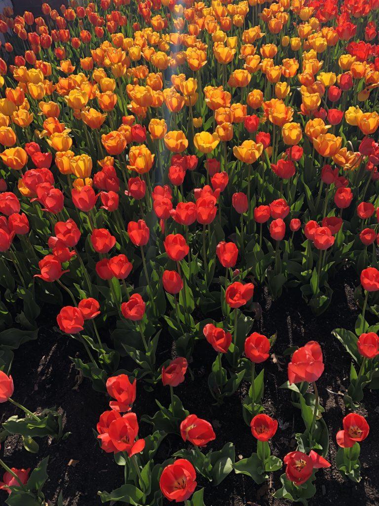 Tulip Time with Kids, Windmill Island Gardens tulips