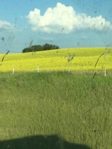 Beutiful Fields of Yellow