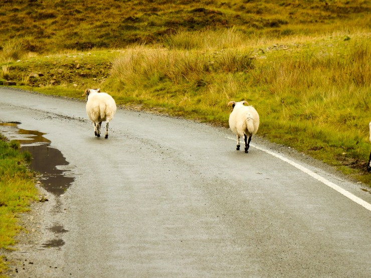 Follow the sheep in the Isle of Skye