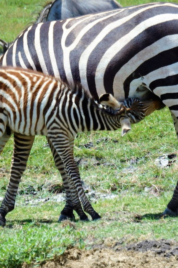Zebra Calf Nursing in Amboseli