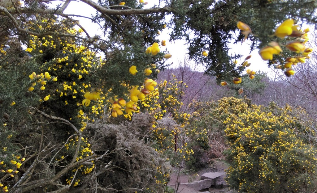 The Gorgeous Yellow of the Gorse rich landscape at Thurstaston Common, Wirral