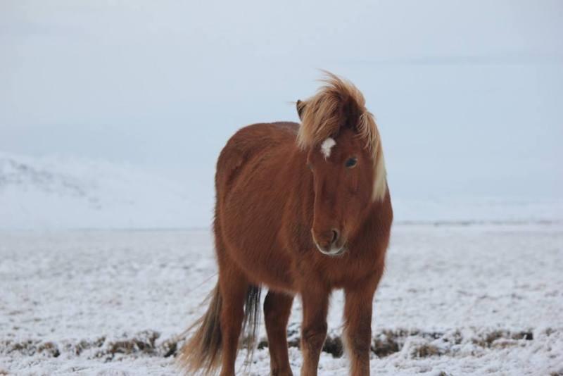 الخيول في ايسلندا