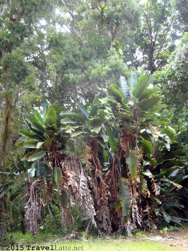 Banana trees surrounded by the tropical forest of southeastern Maui.