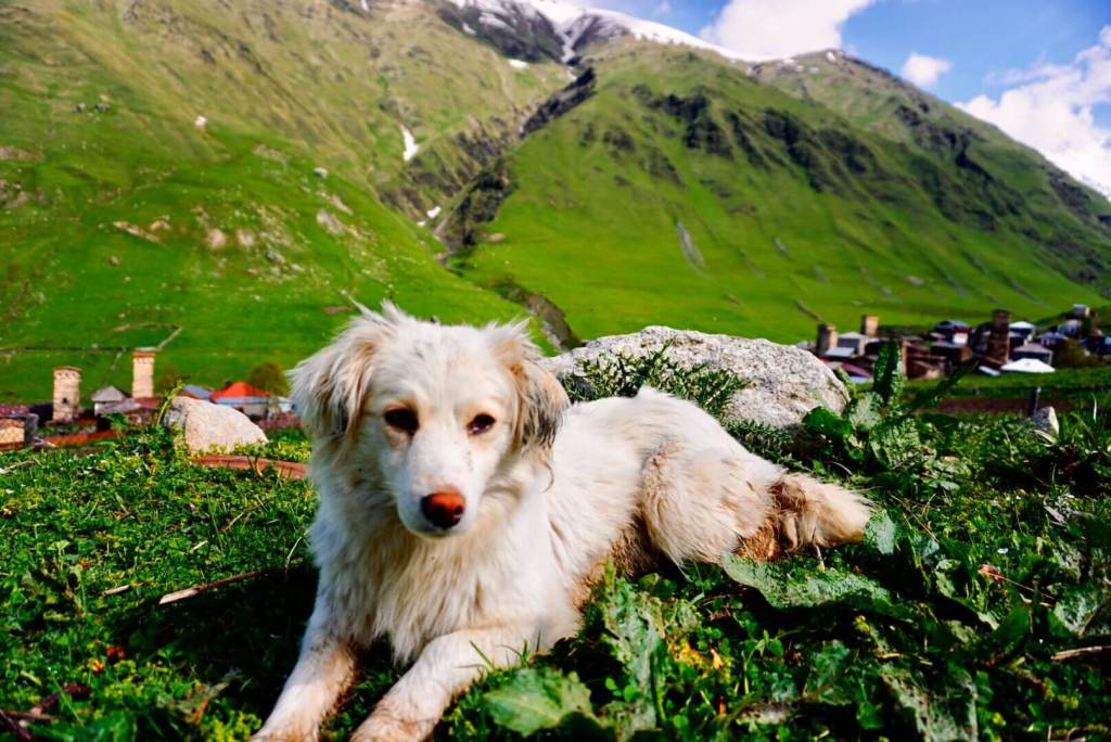 A dog on the hills in Svaneti Georgia