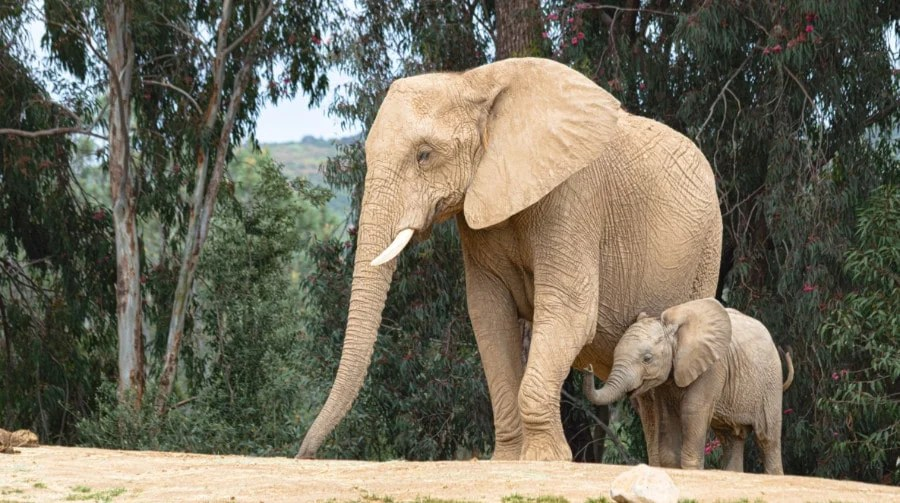 Two elephants at the San Diego Zoo