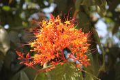 orange-flowering shrub