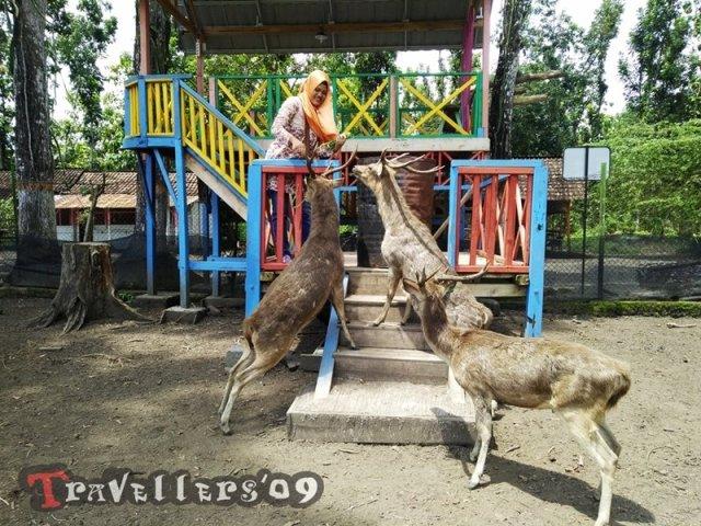 Maliran Deer Feeding, Penangkaran Rusa Maliran Blitar 4