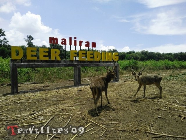 Maliran Deer Feeding, Penangkaran Rusa Maliran Blitar 3