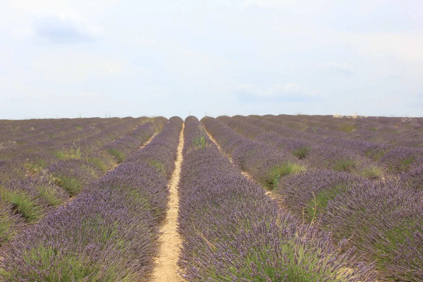 Lavender field on Valensole Plateau in Provence, France