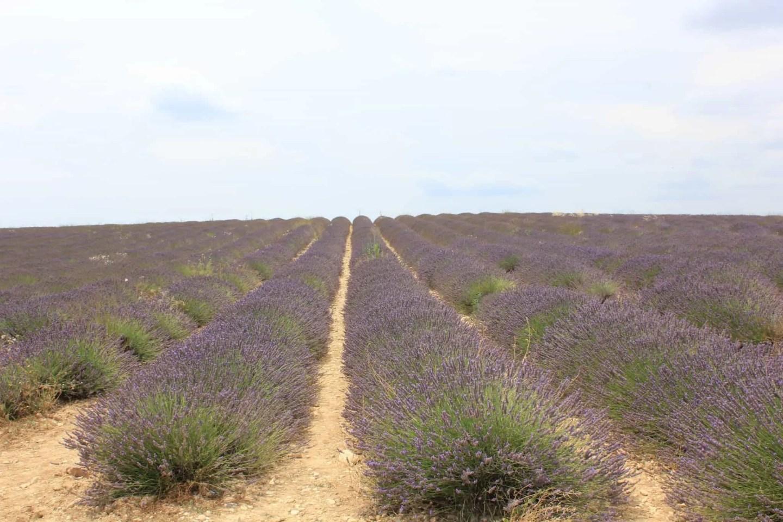 Lavendel åker i Frankrike