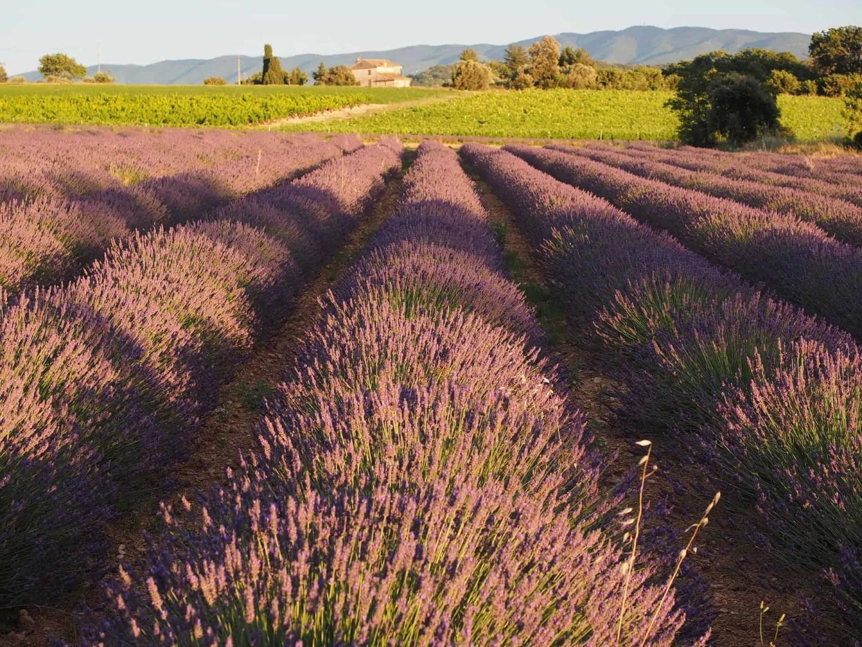 Lavendel Provence, steder å besøke i Provence, ting å gjøre i Provence