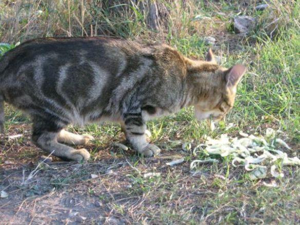 севастпольский кот