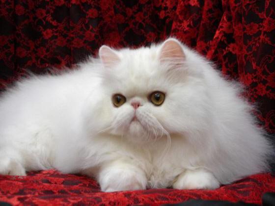 перс персидская кошка