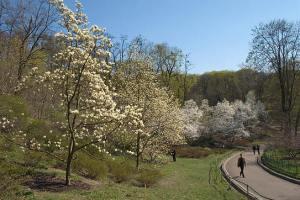 магнолии на майские в ботсаду Киева