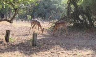 Impalas grasing on the campsite