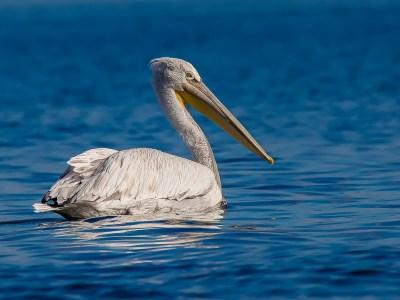 Dalmatische pelikaan